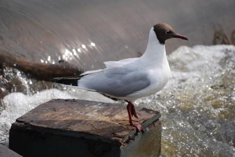 чайка, сидящая над водопадом