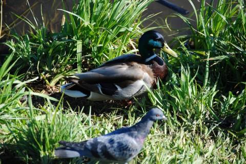 утка и голубь