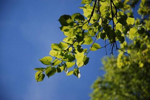 свежие листья и низкое Солнце