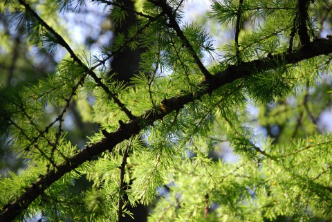 зеленая хвоя лиственницы