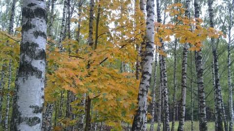 клен и березы в осеннем лесу в Королёве