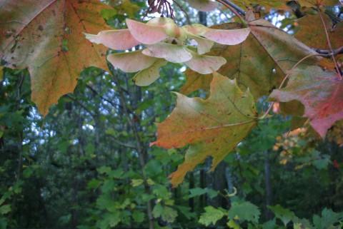 листья и крылатки
