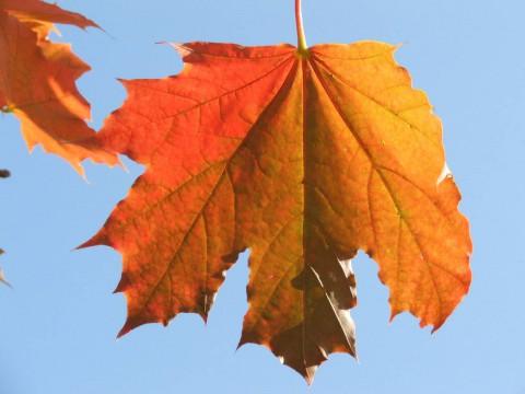 красный лист на ярко-синем