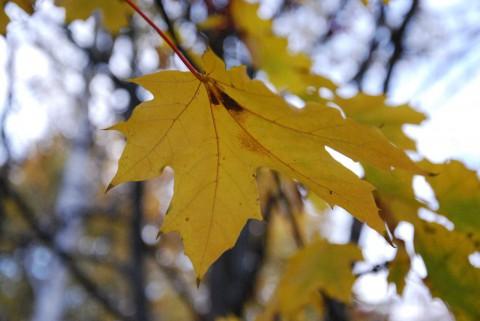 желтый кленовый лист фото