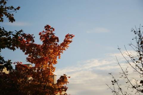 красный клен и синее небо