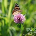 Бабочка на цвете клевера