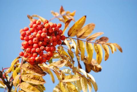 желтые листья, красные кисти, синее небо