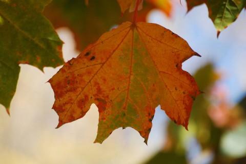 красный кленовый лист фото