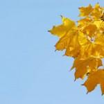 Обои с листьями клена