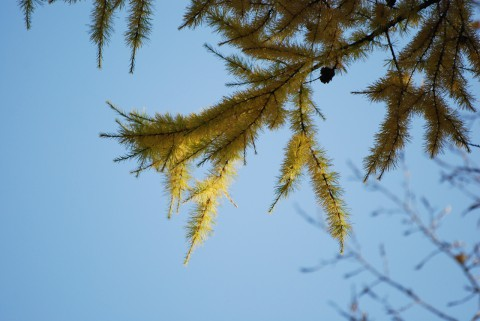 хвоя лиственницы к осени
