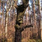 Лесной великан