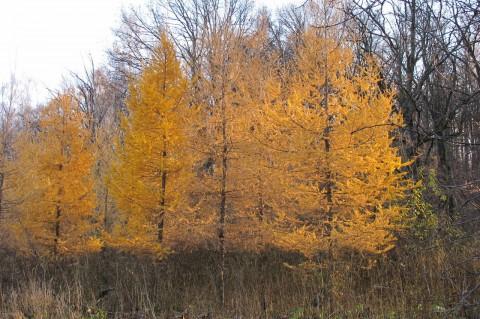 желтые лиственницы фото