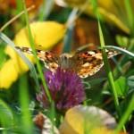 Бабочка на цветке клевера