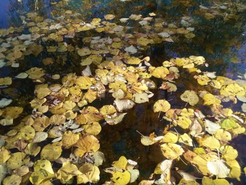 листья на воде