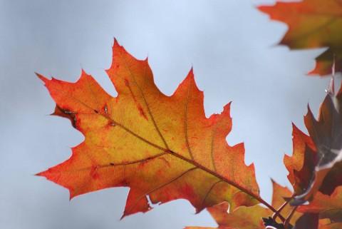 красный осенний лист