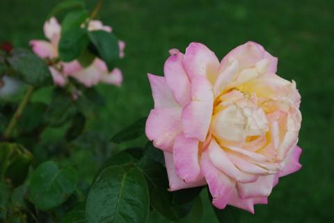 кремово-розовая роза