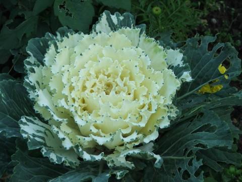 фото декоративной капусты