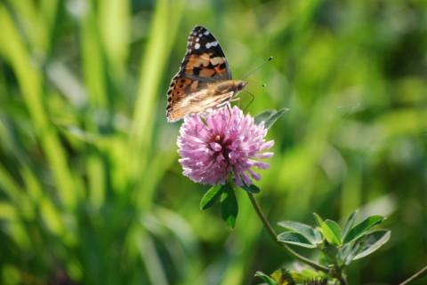 бабочка и лиловый цветок