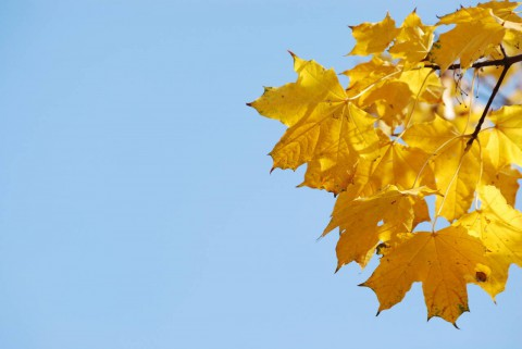 обои листья клена на фото