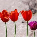Тюльпаны и камень