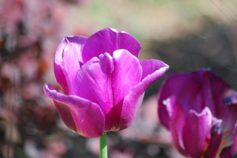 фото фиолетового тюльпана