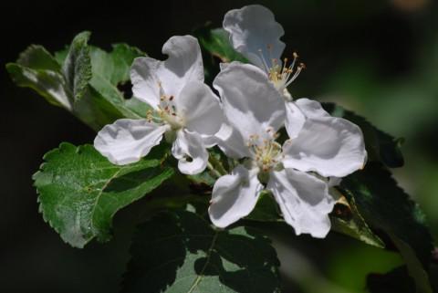 фото цветущей яблони