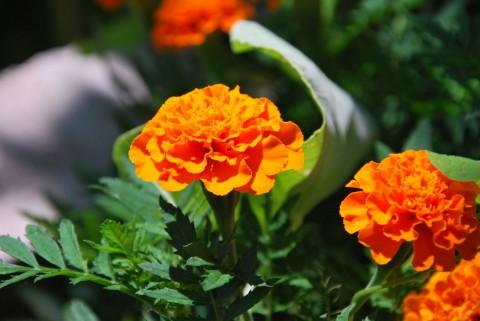 оранжевые бархатцы на ярком солнце