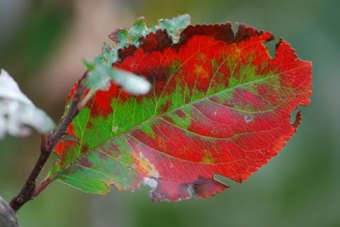 красно-зеленый листок