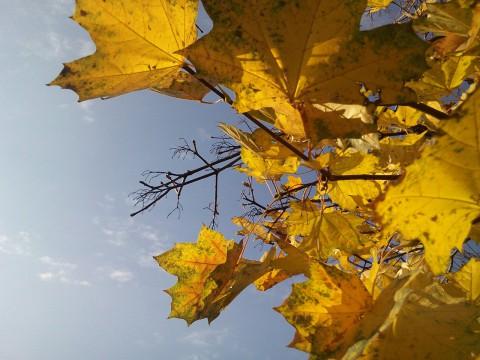 фото желтых кленовых листьев