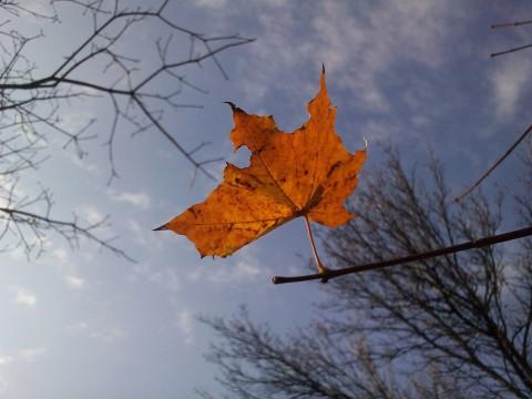 фото красного кленового листка