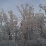 Деревья в белом