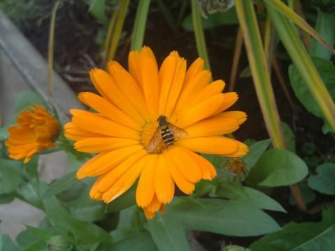 ноготки и насекомые