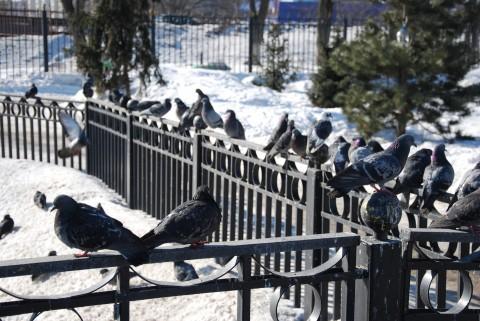 голуби, забор, мороз