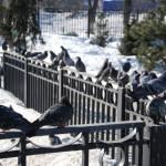 Туча голубей