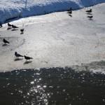 Птицы на льду