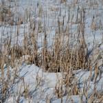 Сухая трава в снегу