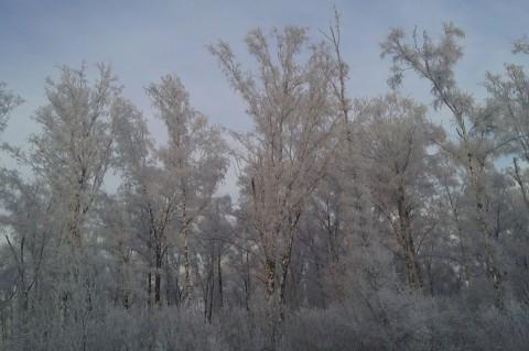 белые деревья