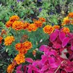 Бордовые листья и бархатцы