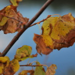 Жухлые листья