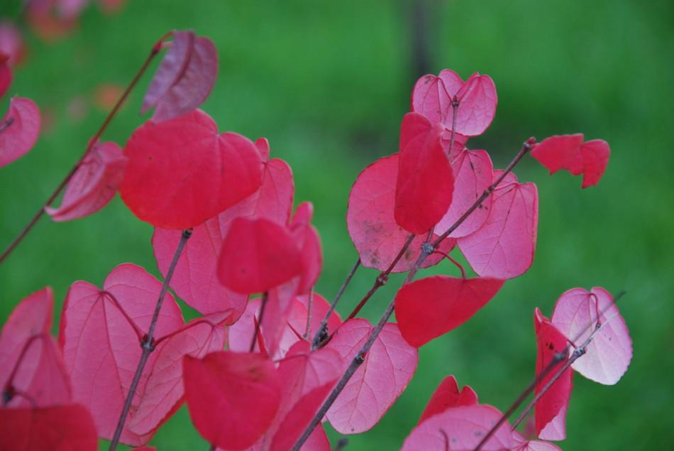 розово-красные листья