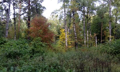 смешанный лес в Подмосковье