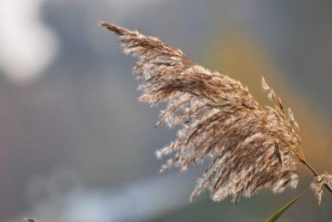 Пушистая трава